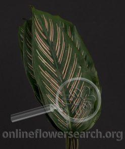 Calathea Sanderiana Roseo