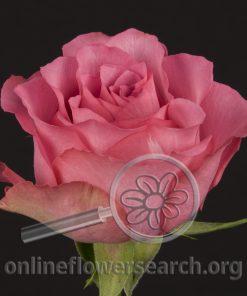 Rose Bling Bling