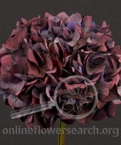 Hydrangea Eggplant
