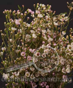 Waxflower Hybrid Pastel Gemflower