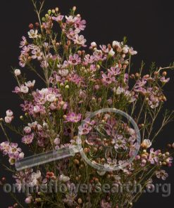 Waxflower Hybrid Pink Gemflower