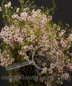 Waxflower Chinchilla