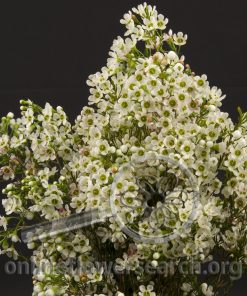 Waxflower Denmar Pearl Flower