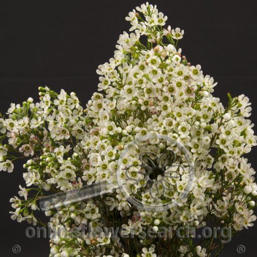 Waxflower Denmar Pearl Flower
