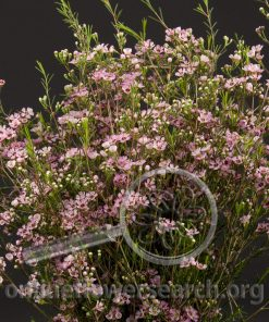 Waxflower Juriens Brook