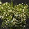 Waxflower Alba