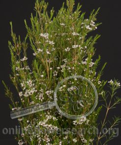 Waxflower Wanaroo
