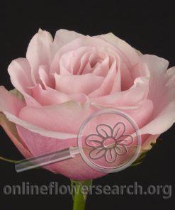 Rose Secret Garden