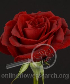 Rose Black Finess (Black Magic)