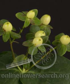 Hypericum Cream Temptation