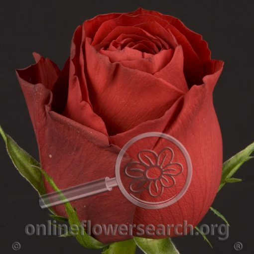 Rose Amada