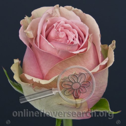 Rose Caress