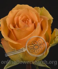 Rose Cosima