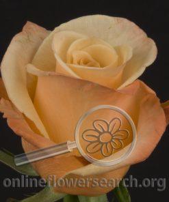 Rose Epoca