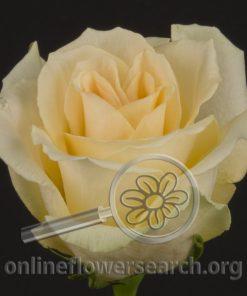 Rose Joy (aka Light Versilia)