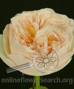 Rose Juliet (Ausjameson)