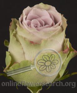 Rose Old Dutch