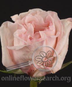 Rose Olé