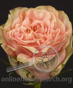 Rose Pink Finess