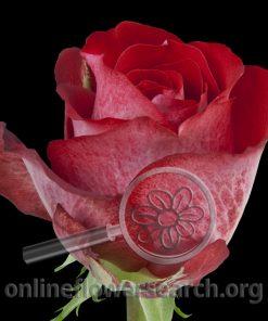 Rose Corrida
