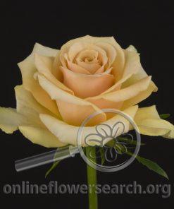 Rose Safari