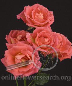 Spray Rose Andrea Folies