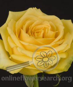 Rose Hummer