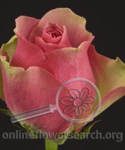 Rose Bellevue (Bella Voo)