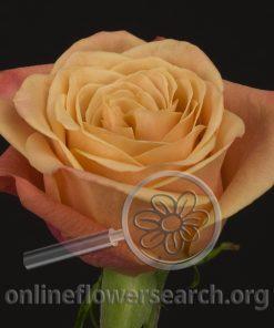 Rose Picanto