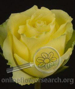 Rose Limeña (Limenia)