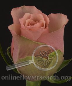 Rose Aerobic