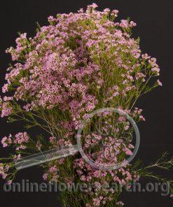 Waxflower Hybrid Eric John