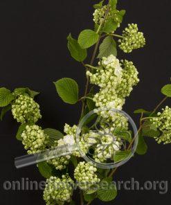 Viburnum plicatum popcorn