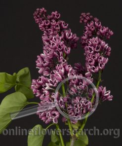 Lilac French Hybrid Purple