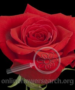 Rose Corazon