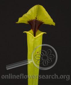 Sarracenia Flava rugelii