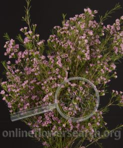 Waxflower Pixie Moon