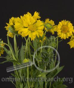 Gaillardia Yellow
