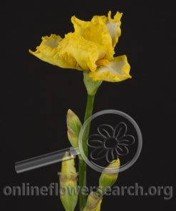 Iris Bearded Yellow