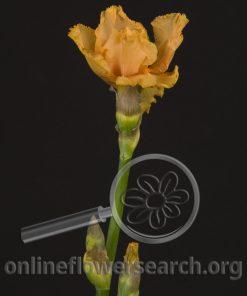 Iris Bearded Orange