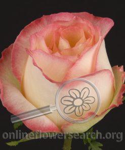 Rose Kontiki