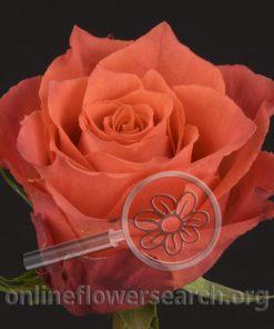 Rose Apache