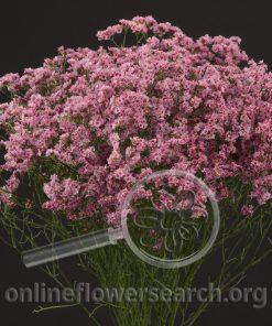Limonium Sinensis Light Pink