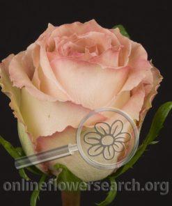Rose Sweet Elegance