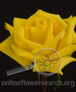 Rose Gold Star