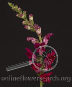 Snaps Fuchsia