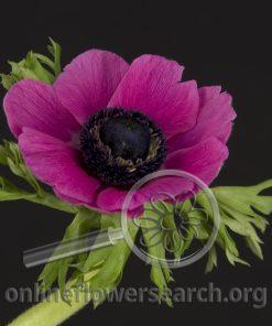 Anemone Cerise