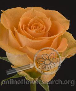 Rose High & Dandy
