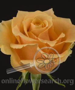 Rose High & Lucky