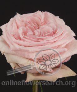 Rose O'Hara